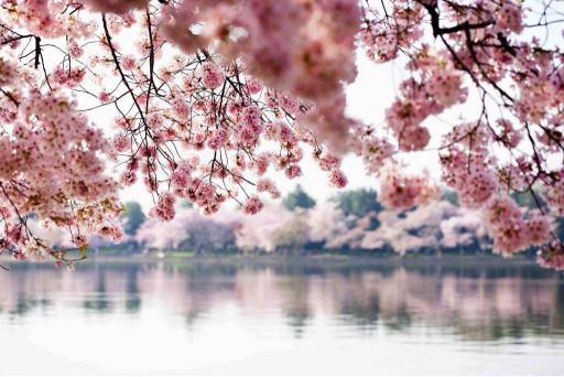 Цветущие деревья у реки
